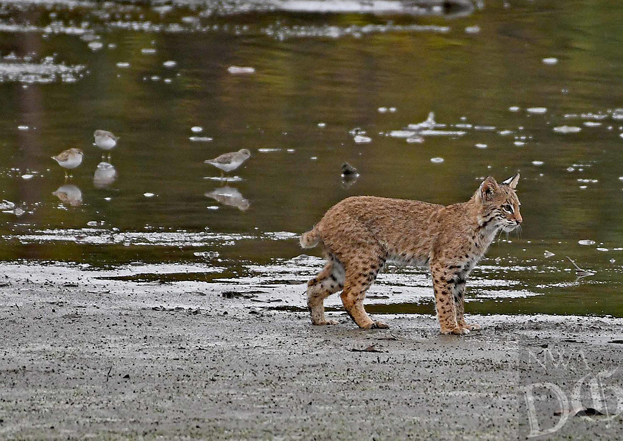 Courtesy photo/PHYLLIS CANE<br />BOBCAT ON PROWL<br />A bobcat walks the shoreline at Swepco Lake on Sept. 23 near the Eagle Watch Nature Trail. The trail is two miles west of Gentry.