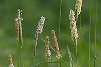 Wiesen-Fuchsschwanzgras, Wiesen-Fuchsschwanz, Wiesenfuchsschwanz, Fuchsschwanzgras, Fuchsschwanz, blühend, Alopecurus pratensis, Meadow Foxtail, Vulpin, Queue-de-renard