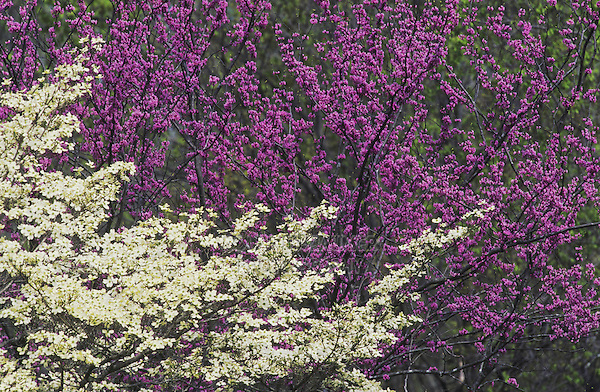 Flowering Dogwood (Cornus florida) Eastern Redbud (Cercis canadensis), blooming in forest, Raleigh, Wake County, North Carolina, USA