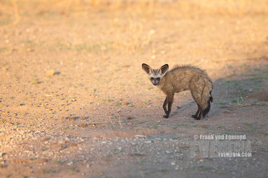 Bat-eared Fox (Otocyon Megalotis)...Adult...Mashatu Game Reserve..Tuli block, Botswana..November 2010.