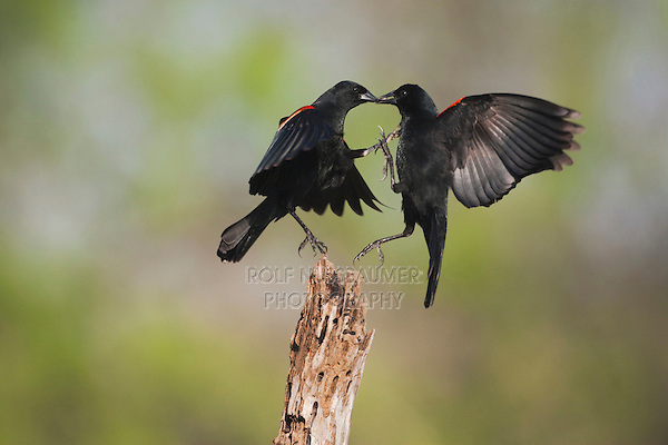 Red-winged Blackbird (Agelaius phoeniceus), males fighting, Sinton, Corpus Christi, Coastal Bend, Texas, USA