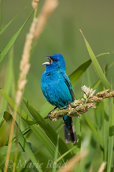 Indigo Bunting (Passerina cyanea), male singing in summer, Ithaca, New York, USA