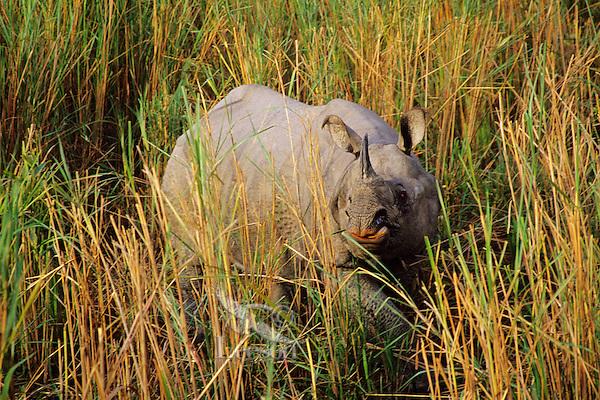 Indian or Asian one-horned Rhinoceros (Rhinoceros Unicornis) NE India.