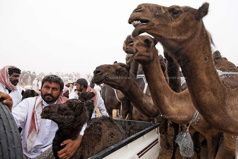 Riding in the back of a pick up truck, some competitors use camel calves to lure antsy mothers to the gate. Once inside the parade grounds, a turn before the judges marks the end of a long walk for many of the camels, from Oman, Qatar, and distant quarters of Saudi Arabia.
