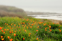 Lush fields of poppies adorn the bluffs and trails in the springtime at the Montana de Oro State Beach