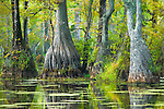 Cypress and tupelo, Merchants Mill Pond State Park