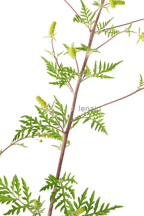 Ambroisie à feuilles d'armoise, Ambroisie élevée, Herbe à poux ou Petite herbe à poux, Ambrosia artemisiifolia en fleurs // Ambrosia artemisiifolia, Common Ragweed in flowers.