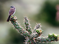 Adult black-throated sparrow on cactus