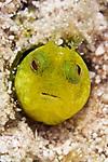 Acanthemblemaria chaplini, Papillose blenny, Florida Keys