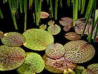 Water lily leaves in pond. Oregon