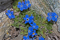 Himmelsherold, Gletscher-Vergissmeinnicht, Eritrichium nanum, Arctic alpine forget-me-not, Alpine forget-me-not, King of the Alps