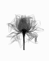 Xray open Rose blossom