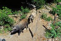 Schweine am Straßenrand in der Castaniccia, Korsika, Frankreich