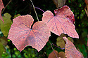 "Crimson glory vine (Vitis coignettiae), so called because of the rich reds and purples of the foliage in autumn, mid October. ""A bold and vigorous vine able to scramble up the tallest trees. The young foliage and twining tendrils are fawn in colour, ageing dark green and becoming coarse textured and leathery. Covered in a deep rusty down on the underside, the leaves are shallowly lobed and more or less round, impressively spanning over 30cm in diameter. In the autumn the best clones turn deep beetroot purple with flushes of crimson ... Origins: Japan. First introduced plants were seedlings by Madame Coignet."" [Fergus Garrett, Great Dixter, Nurseryman's Favourites, Gardens Illustrated magazine, November 2013]"