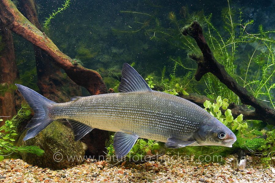 Große Maräne, Große Schwebrenke, Renke, Kilch, Felchen, Coregonus widegreni, Coregonus lavaretus, freshwater houting, powan, common whitefish, Renken, Maränen, whitefishes, lake whitefishes, coregonines