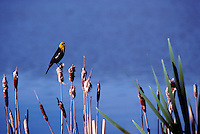 A Male Yellow Headed Blackbird sitting on a Bullrush Plant