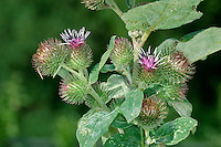 LESSER BURDOCK Arctium minus (Asteraceae) Height to 50cm. Robust, downy biennial of waste ground, verges and hedgerows. Similar to Greater Burdock but note differences in flowers and leaves. FLOWERS are borne in egg-shaped heads, 15-20mm across, with purplish florets and greenish yellow, hooked and spiny bracts; carried in open spikes (Jul-Sep). FRUITS are burs. LEAVES are heart-shaped with hollow stalks; basal leaves are wider than long. STATUS-Widespread and common.