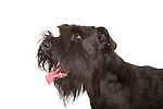 Giant Schnauzer Dog, Head Study, Studio, White Background
