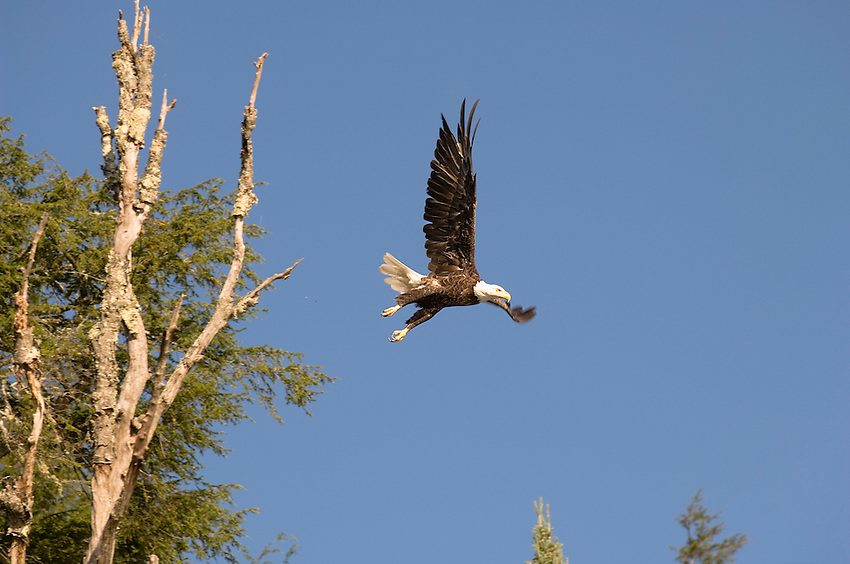 An adult bald eagle watches over Loon Lake at Sylvania Wilderness Area of Ottawa National Forest near Watersmeet Michigan.