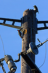 Acorn woodpeckers on PG&E pole