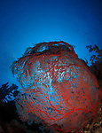 Orchid Island, Taiwan -- Red Gorgonian sea fan set against a blue deep-water background at the Ba Dai ship wreck.