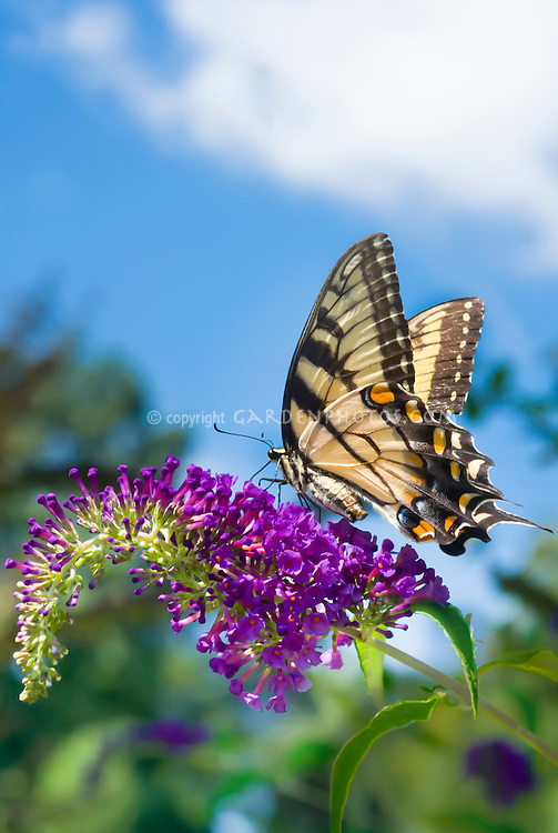 Swallowtail butterfly on Buddleia Buddleja davidii Harlequin butterfly bush, blue sky