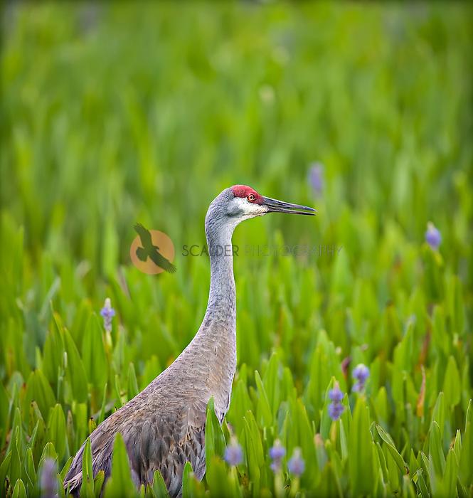 Sandhill Crane standing in Pickerelweed, in profile