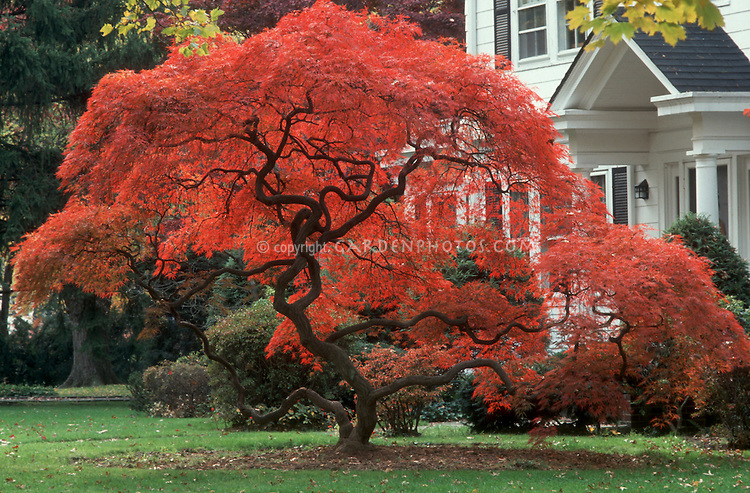 japanese maple in amazing red fall foliage color acer palmatum var dissectum with - Red Garden Design