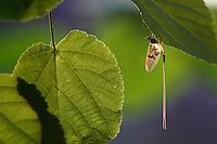 Mayfly (Ephemera danica), Sweden, Västra Götaland, Götene, Dala river, Sweden