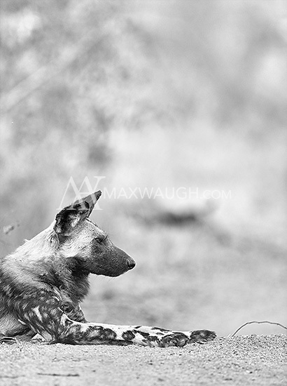 The highlight of our visit to MalaMala was an encounter with a pack of wild dogs.  There were five adults and nine pups in this pack.<br /> <br /> This image is also available in color.
