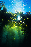 Sunrays beam down through a Giant Kelp (Macrocystis pyrifera) forest in California's Channel Islands.  USA