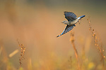 A mountain bluebird flies over the tall grass in Grand Teton National Park, Wyoming.