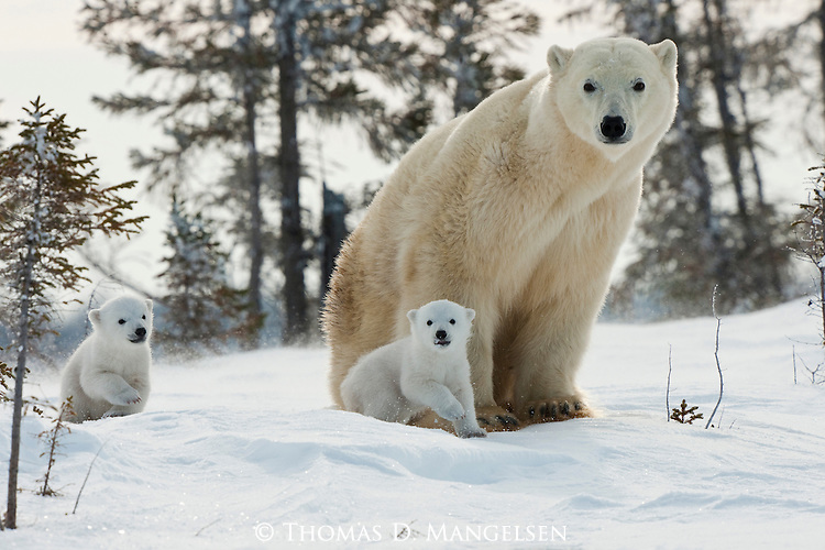 Two polar bear cubs follow their mother across the snowy landscape of Manitoba, Canada.