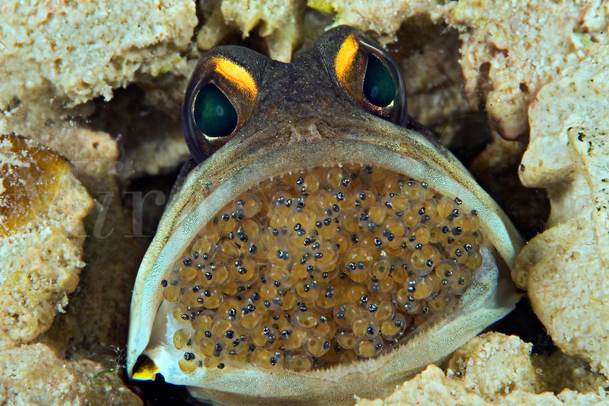 Male gold-specs jawfish, Opistognathus sp, mouth brooding eggs.  Mabul Island, Malaysia.