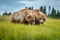 Alaska coastal brown (grizzly) bears mother and cub graze on sedge grass.  Lake Clark National Park Alaska.  Summer. <br /> <br /> Photo by Jeff Schultz/SchultzPhoto.com  (C) 2018  ALL RIGHTS RESERVED<br /> Amazing Views-- Into the wild photo tour 2018