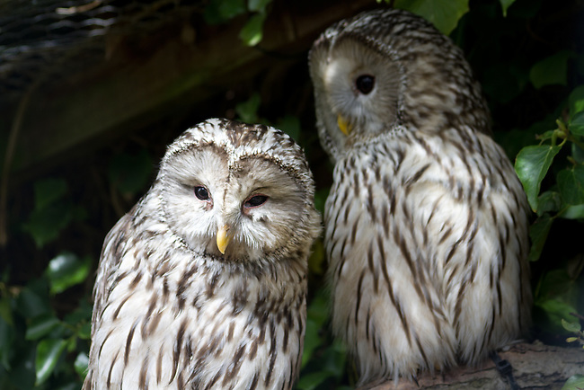 Streaked white barred owls, look