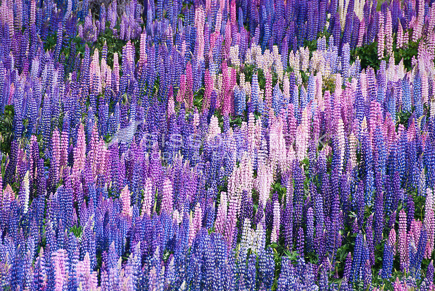 Mass blooming lupins near Tekapo, Canterbury,New Zealand - stock photo, canvas, fine art print