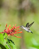 An endemic female Bee Hummingbird (Mellisuga helenae) in flight, visiting flowers of the Firebush tree (Hamelia patens). Cuba.