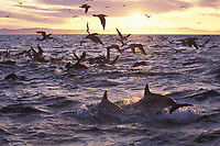 Long-beaked Common Dolphin (Delphinus capensis) surfacing/feeding at sunset on surface prey with bird flock diving. Upper Gulf of California (Sea of Cortez, Pacific Ocean), Mexico.
