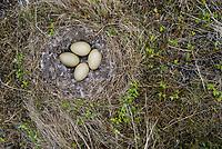 Nest and eggs of a Spectacled Eider (Somateria spectabilis). Yukon Delta National Wildlife Refuge, Alaska. June.