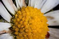 Gänseblümchen, Blick in die Blüte mit Zungenblüten und Röhrenblüten, Korbblüter besteht aus vielen Einzelblüten, Blütenaufbau, Maßliebchen, Bellis perennis, English Daisy, Pâquerette