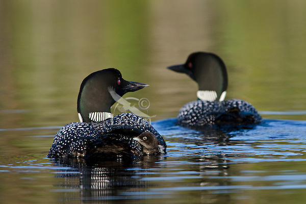 Common Loon (Gavia immer) family.  Northern North America, Summer.  Sometimes also called Great Northern Loon or Diver.