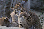Bobcats play at the Living Desert.  Captive