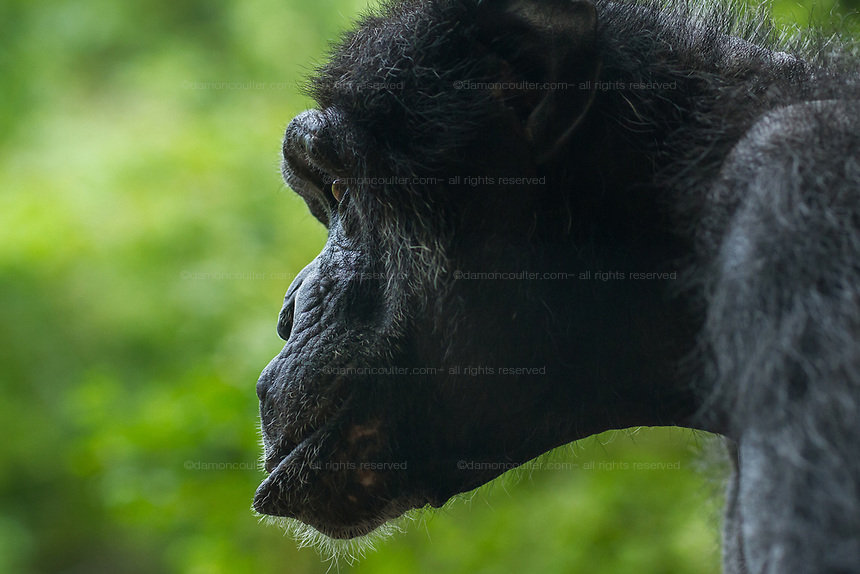 Profile portrait of a female chimpanzee at Zoorasia in Yokohama, Kanagawa. Wednesday September 11th 2019