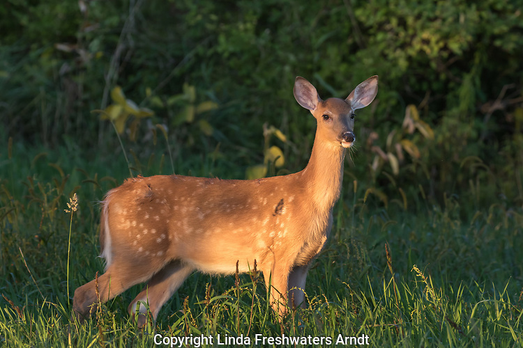 White-tailed fawn in a September meadow.