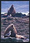 FB 198,  Stellar sea lions