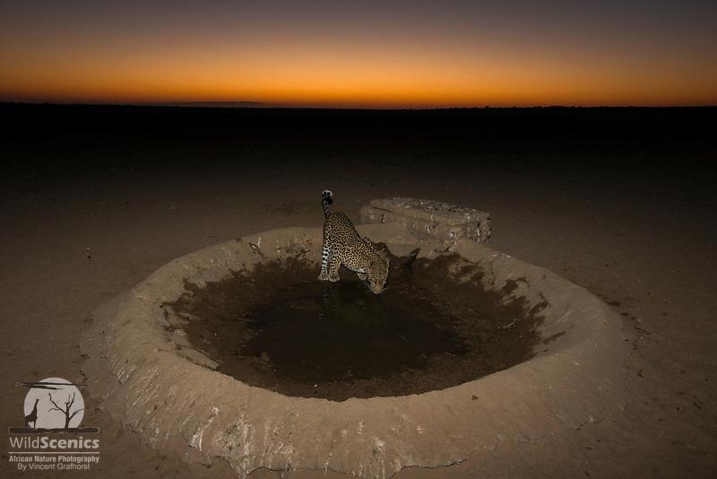 Leopard drinking from a kalahari waterhole at dawn