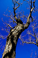 Bare tree trunk against a blue sky in springtime, Provence, France.