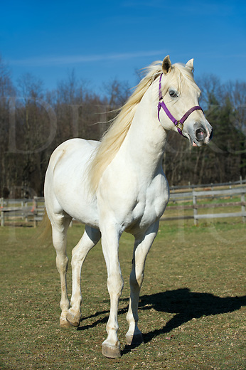 White horse walking in sunshine, an Arabian stallion with long mane in relaxed three quarter view, Pennsylvania, USA.
