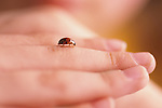 Young girl ( 7 years old) with close up of lady bug walking on her fingers Bothell Washington State USA